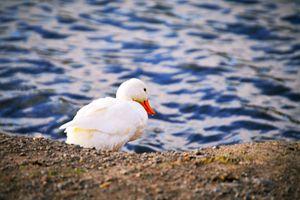 Happy Duck on the beach - A & B Martin Photography