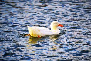 Swimming duck - A & B Martin Photography
