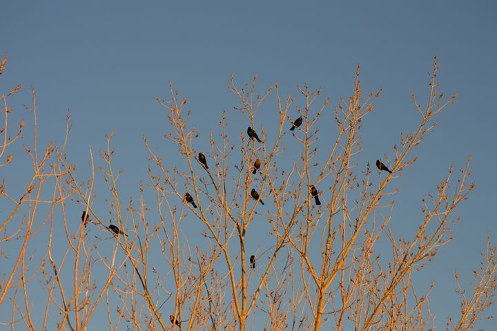 Black Birds in Orange Trees - A & B Martin Photography