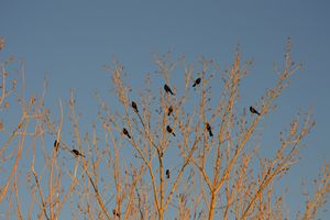 Black Birds in Orange Trees - A & B Martin Photography