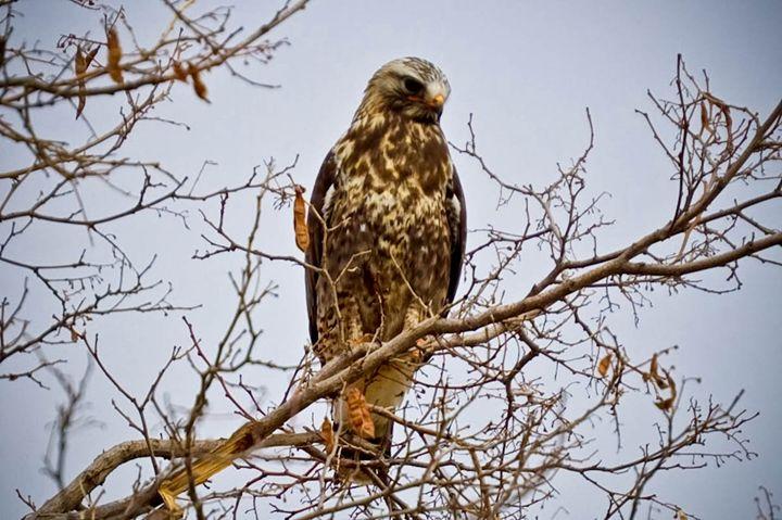 Redtailed Hawk at Farmington Bay - A & B Martin Photography