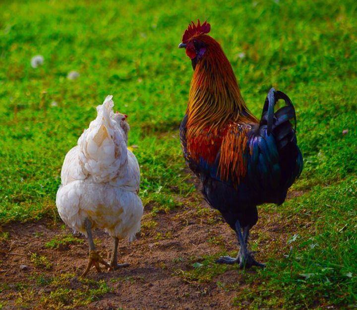 Rooster and his Hen - A & B Martin Photography