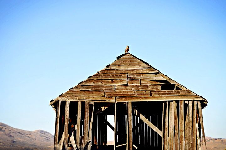 Red Tailed Hawk on Barn Roof - A & B Martin Photography