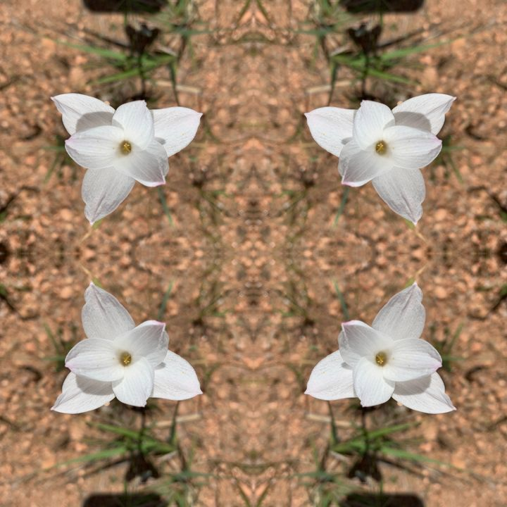 Rain Lily Reflected - Libbys_ArtStudio