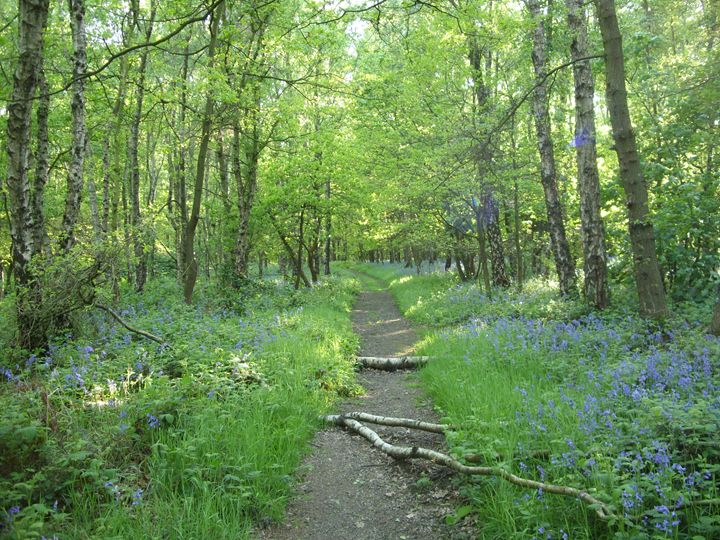 Bluebell Wood, England - Timawells