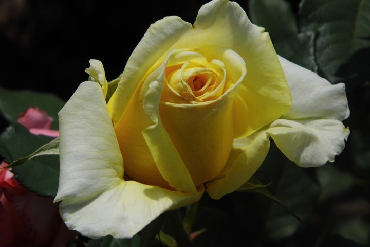 Saffron delight - rosetiger
