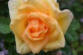 rosetiger
