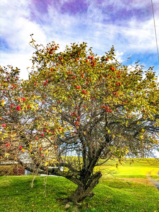 0443 Apple Tree - Photoesque Designs