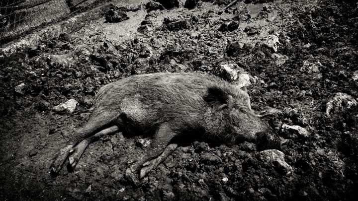sleeping boar - Gojani Anton