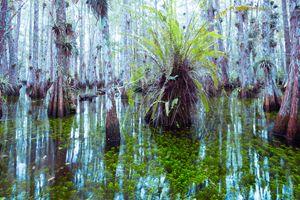 Everglades Forest #2