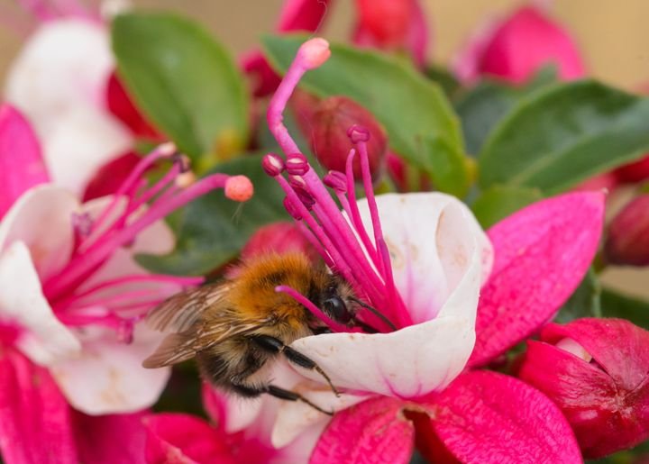 Bee & Fuchsia - Mary Moore
