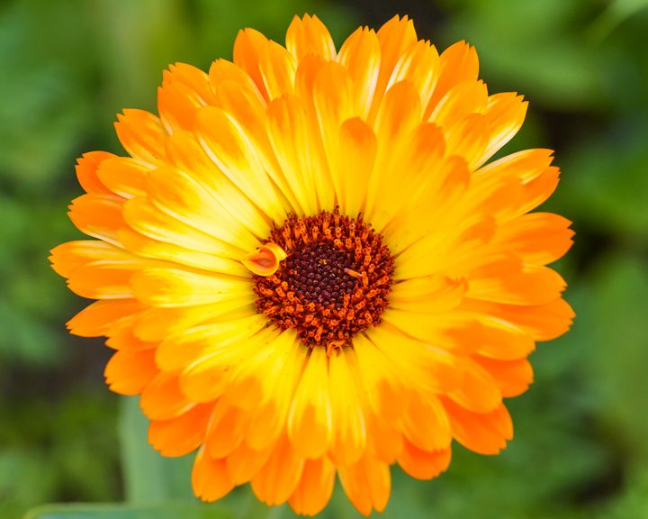 Orange Daisy - Mary Moore
