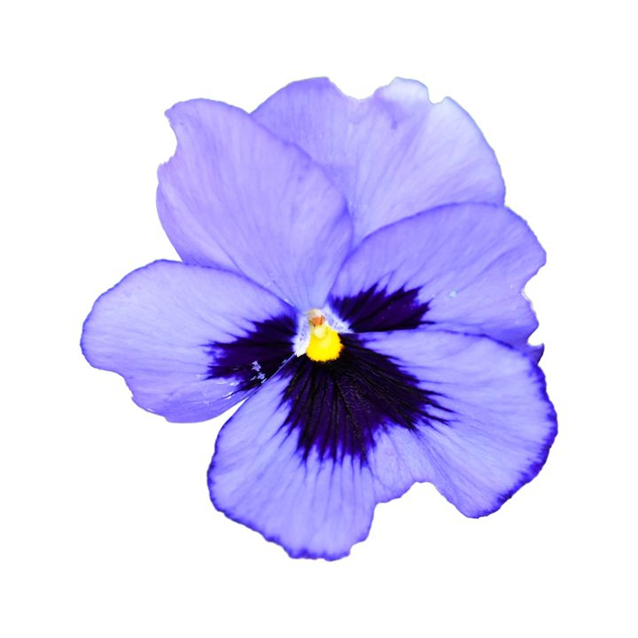 Purple Pansy - Mary Moore