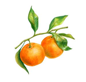 Two tangerines on a branch