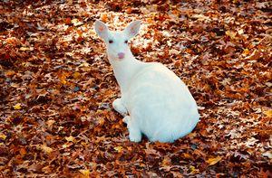 The White Deer - Bridget Beenanti