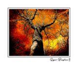 TREE OF FIRE (11X14)