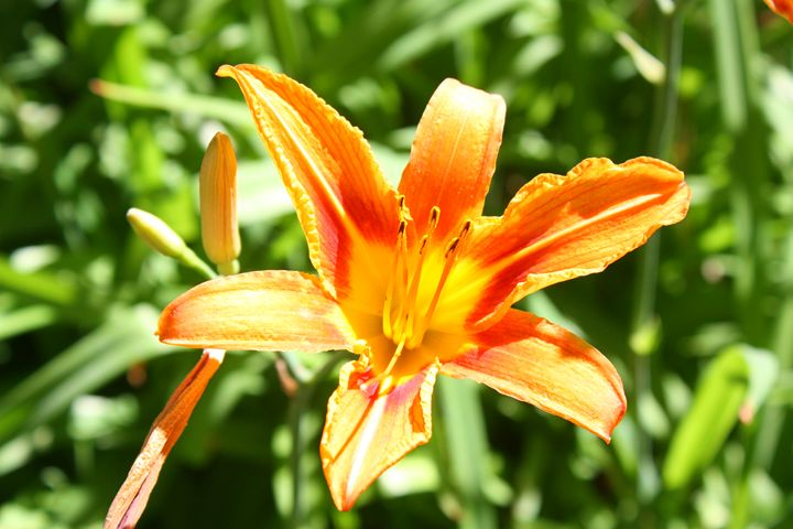 Tiger Lily - M'Lisa Photography