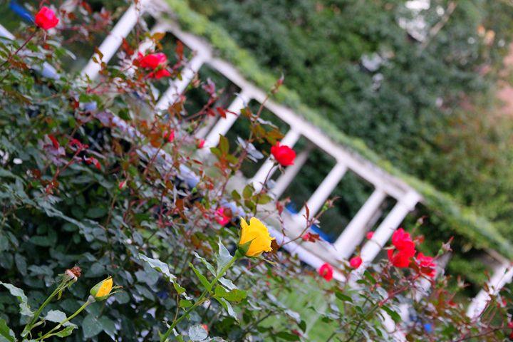 I love Boston. Beautiful roses - Valentina Averina