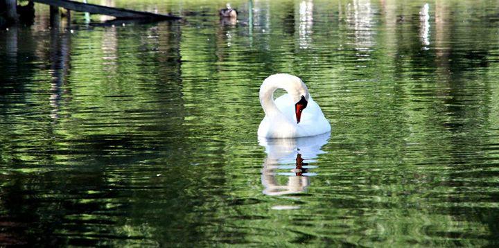 Park Boston Ma lakes Woter Bird swan - Valentina Averina