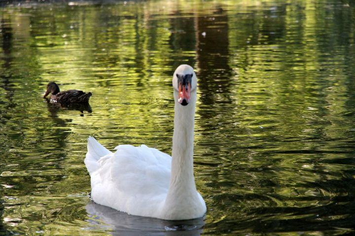Swan - Valentina Averina