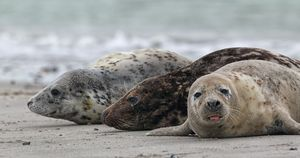 Grey Seals (Halichoerus grypus)