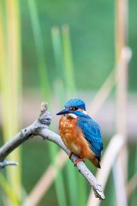 Eurasian kingfisher (Alcedo atthis)
