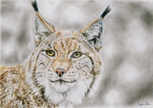 Lynx color pencil & graphite drawing