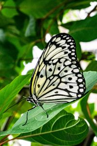 White Butterfly - Natural Beauty