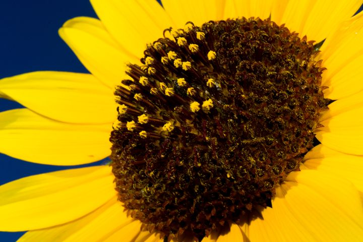 Sunflower - Natural Beauty