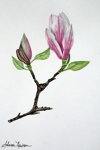 Pink Magnolia flower and bud