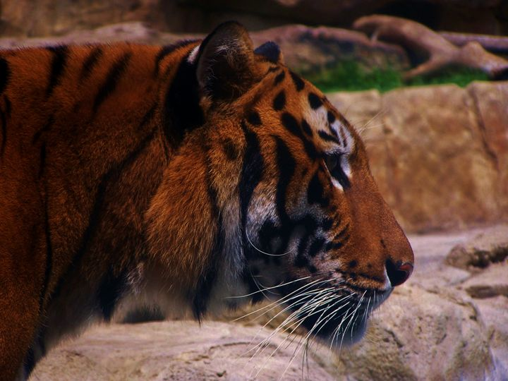 TIGER - Wherever Photography
