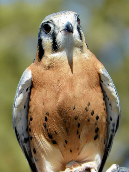 Falcon - Wherever Photography