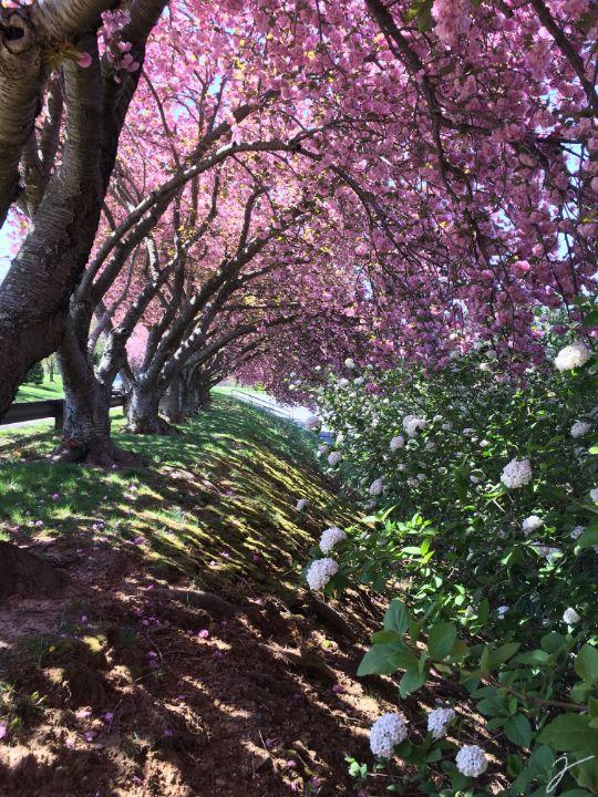 Glenview blossoms - Sohraby