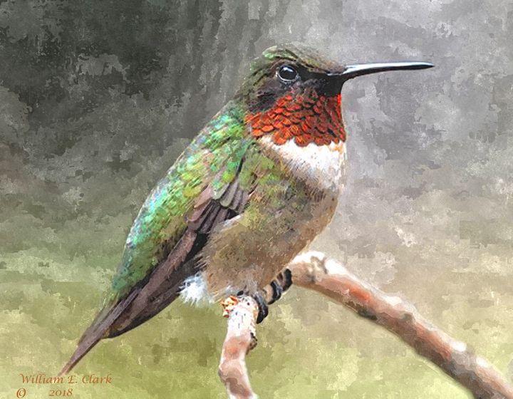 Hummingbird - Will Clark Art