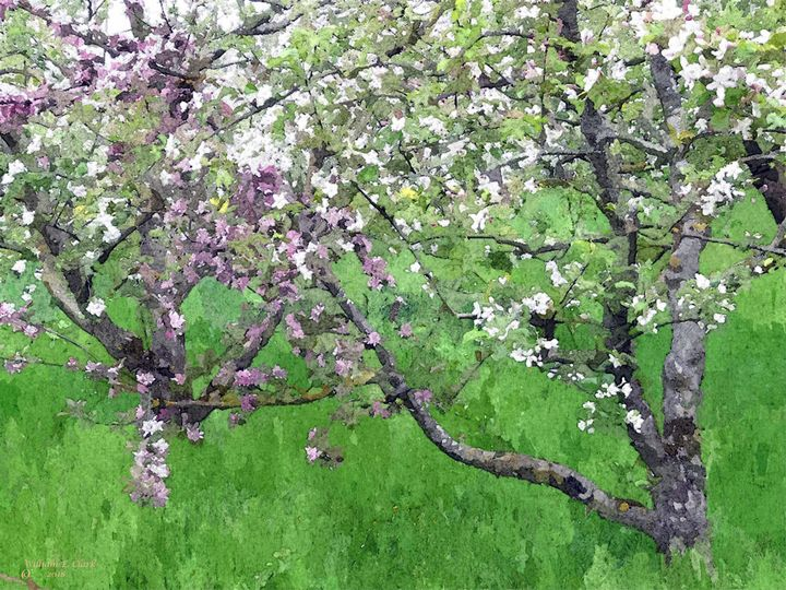 Apple blossoms - Will Clark Art