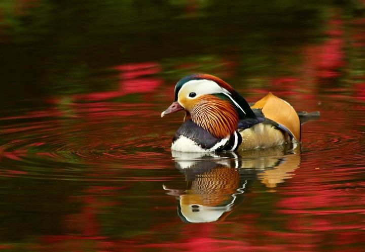 Mandarin duck - Will Clark Art