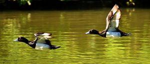 Tufed duck