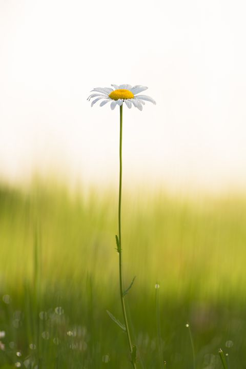 Lonely Daisy - Luctphoto.com