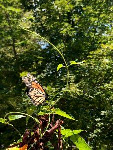 Monarch Found Its Halo - Dak Art