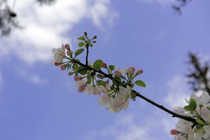 Blossom cherry backlit cloudy sky