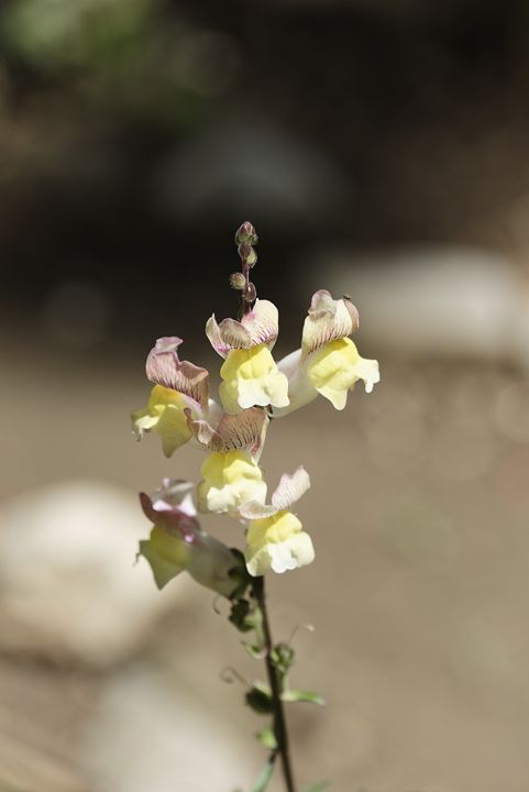 Snapdragon flower yellow on a blurry - Adrian Bud