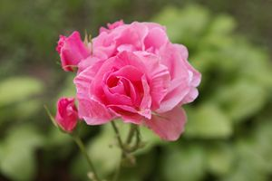 Red Pink Rose with buds