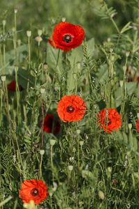 Group of poppies