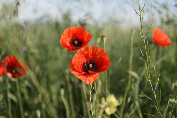 Guarding poppys - Adrian Bud
