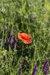 Overlooking poppy flower