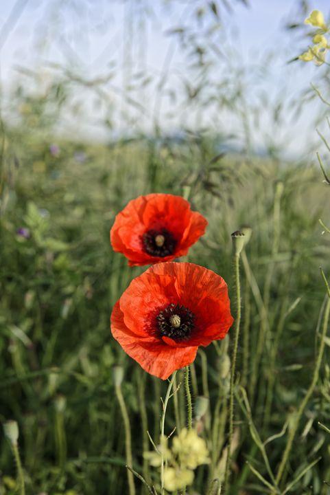 Pair of poppies - Adrian Bud
