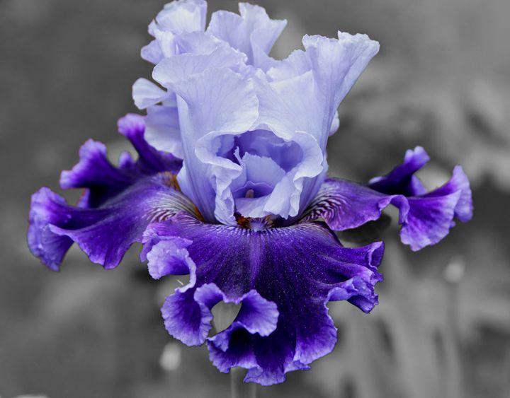 Purple Bearded Iris - Studio421