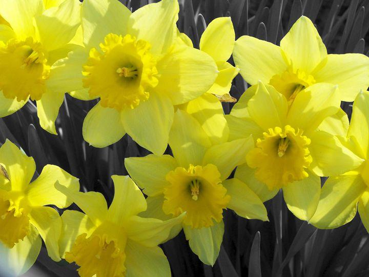 Daffodils - Studio421