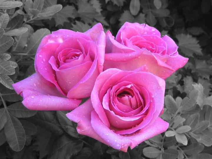 Pink Roses - Studio421