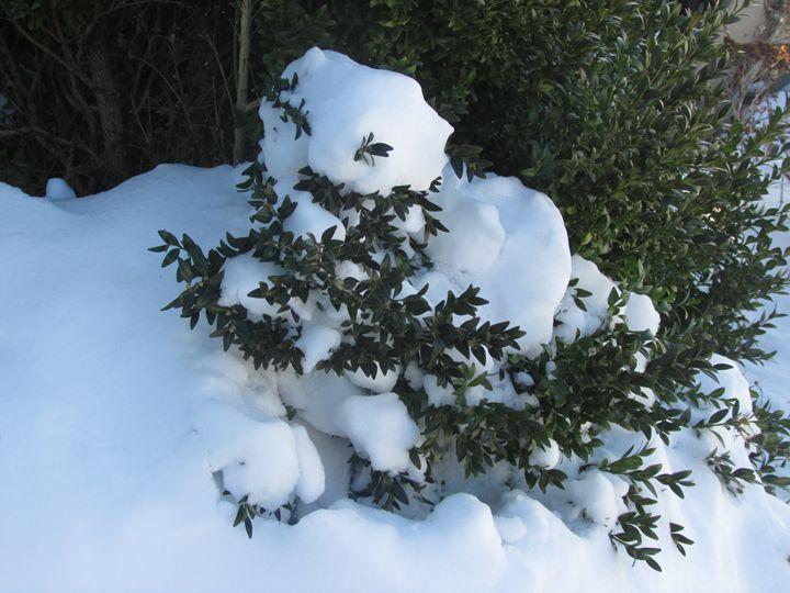 Snow Bush - Amanda Seilhammer